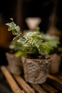 Isle of Man houseplants ivy