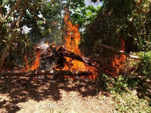 Polícia erradica 2 mil pés de maconha no Sertão de Pernambuco