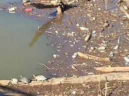 Turtles in Brazos River Waco Texas.JPG