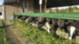 gulu dairy cow.jpg