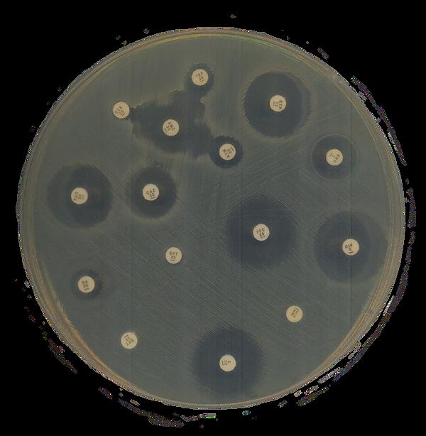 placa antibiograma.png