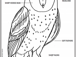 Barn owl facts and printable coloring/activity sheets