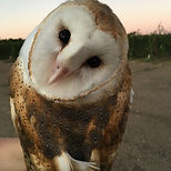 IMG-8097 barn owl.JPG