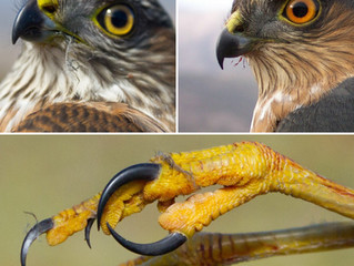 Messy talons and beaks can tell us what a raptor eats