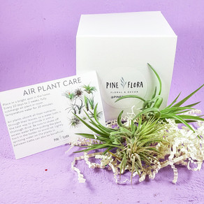 Treating Myself: Air Plants from Pine Flora