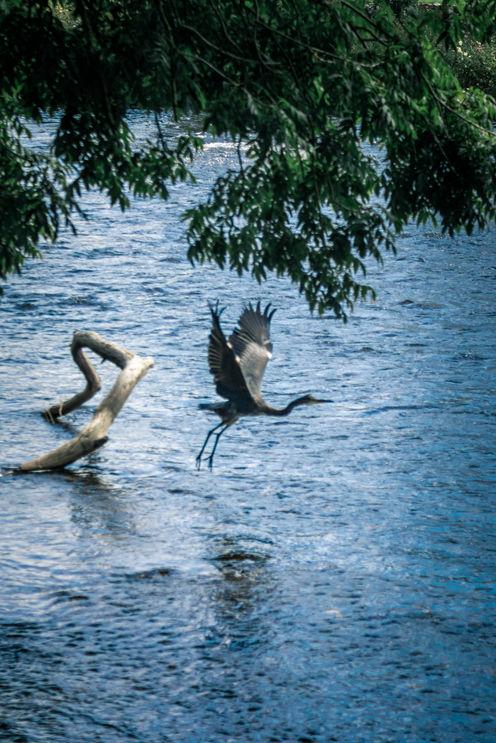 Bird on River Derwent