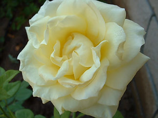 'New Day' Everblooming Hybrid Tea Rose