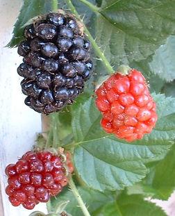 Blackberries with different maturities, Vine stickers