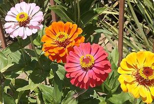 Blog 2020-9-30g, Zinnia Flowers one of G