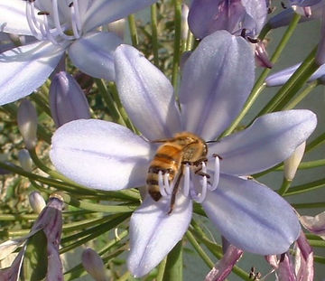 Bee gathering pollen on Agapantha, Standard Purple
