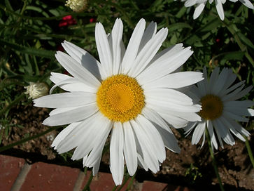 Mature Blooming Daisy