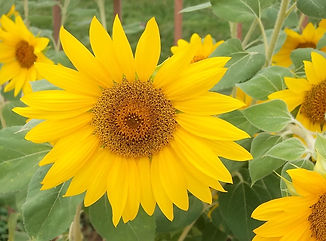 ​Vigorous Sunflowers
