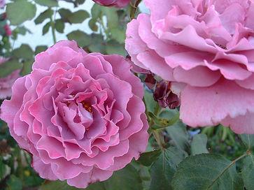 Mature Angel Face Tree Rose