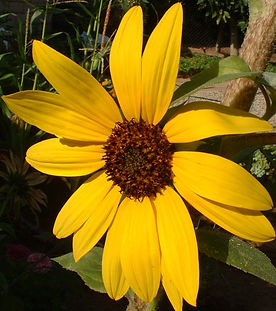 Giant Sunflower, reflects the power of the sun