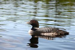 Loon On Pond, Washington NH