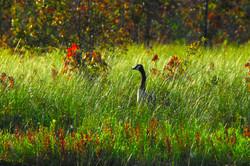 Fall Goose, Half Moon Pond, Washington NH