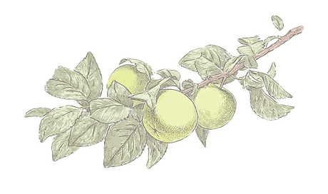77-770626_apple-tree-drawing-apple-tree-