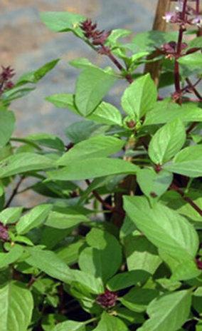Tulsi-Holy Basil Tea