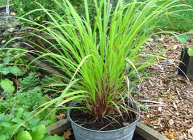 Lemony Lemongrass: the Herb, the Essential Oil