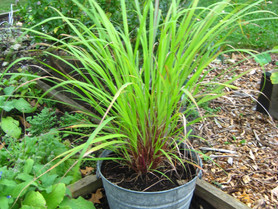 Lemony Lemongrass: the Herb, the Essential Oil