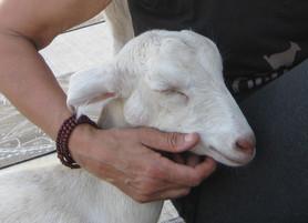 Why Goat Yoga?