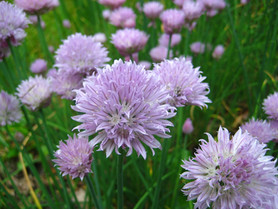 Chives: the Best Beginner Herb!