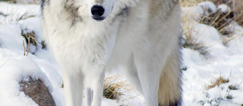 Un plan pour abattre plus de loups