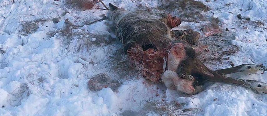 Caribous: un nombre alarmant d'infractions