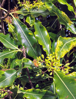 Lemonwood in Flower