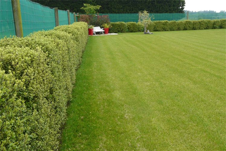 Pittosporum hedge
