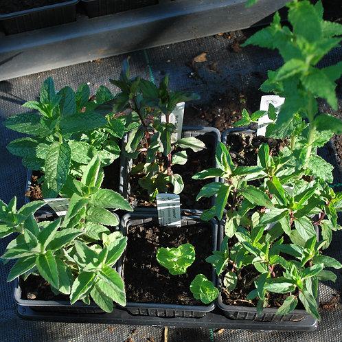 Munt-plantjes in 6 variëteiten