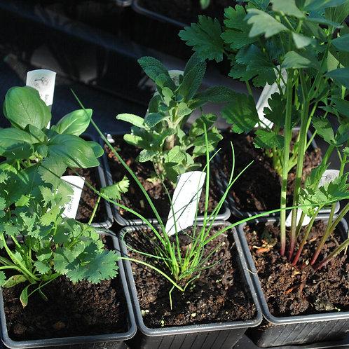 Courante Kruiden mix-plantjes (per 6)
