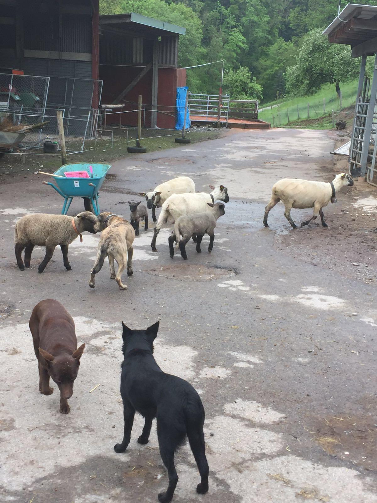 Zia mit Schafe