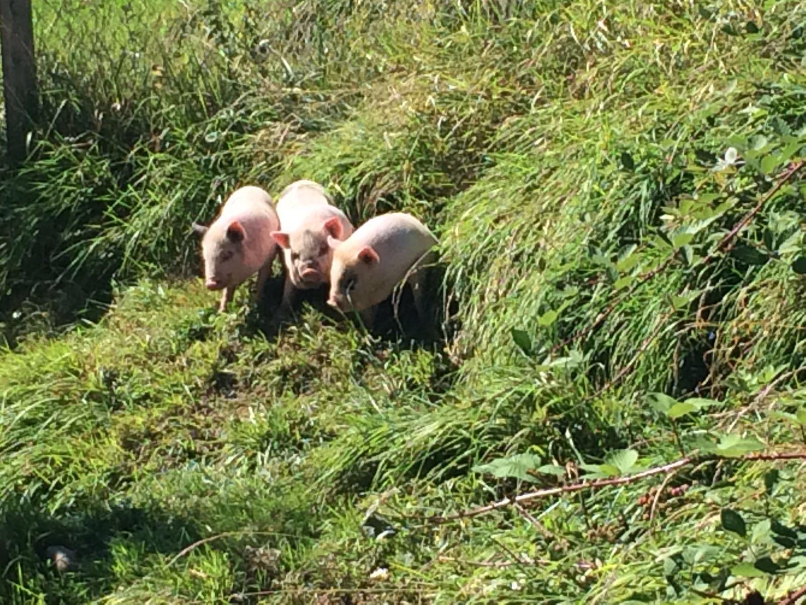 Babyschweinchen