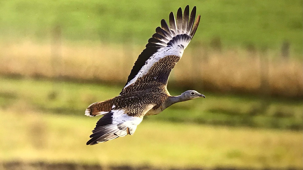 Flying Great Bustard Card