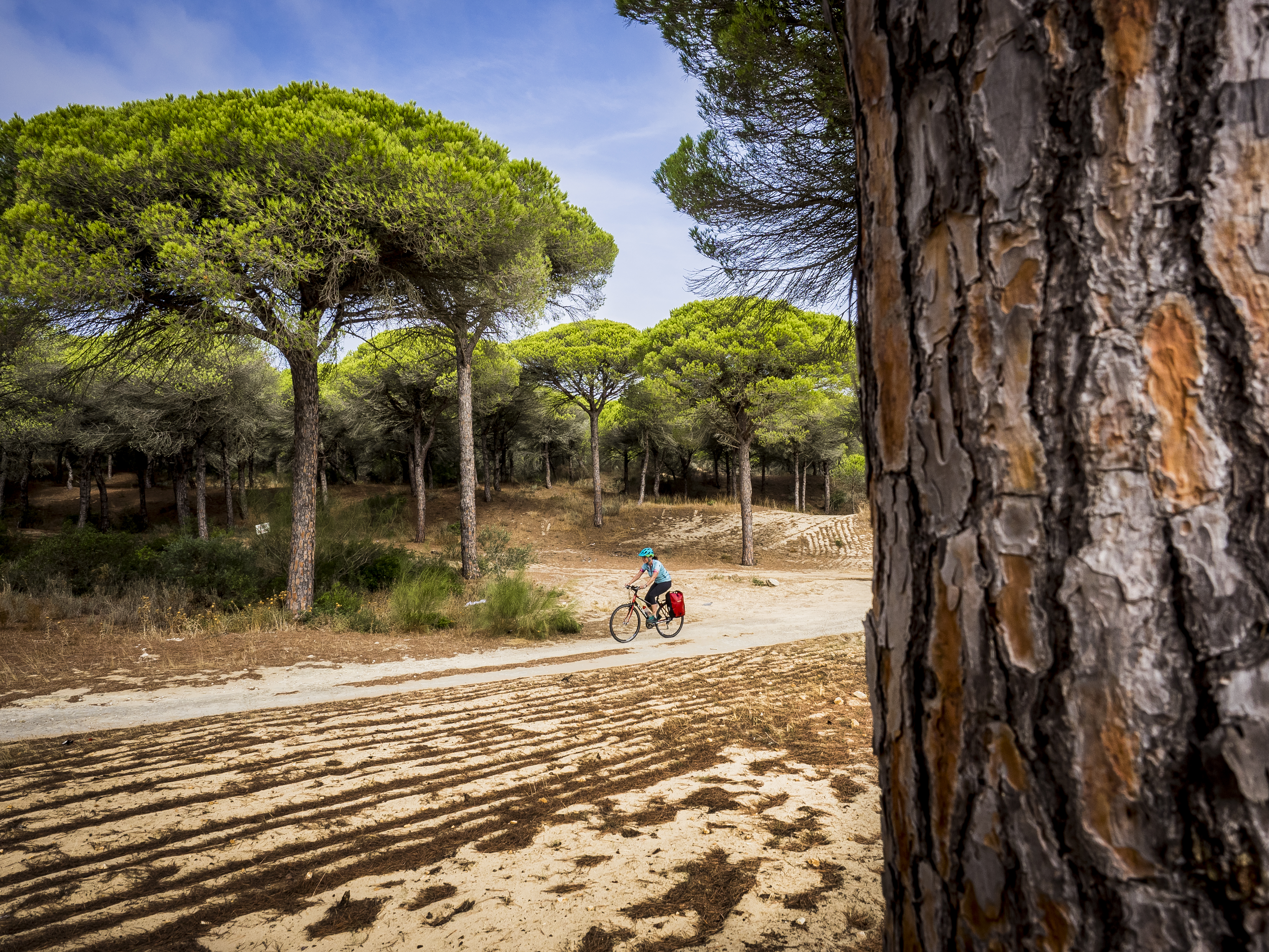 Pine trees in Andalucia, Spain