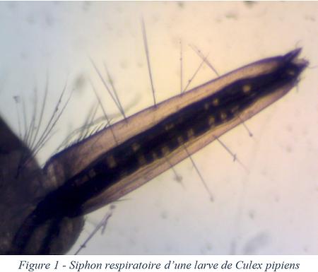 Siphon respiratoire - Culex pipiens