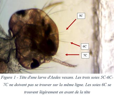 Tête d'une larve d'Aedes vexans