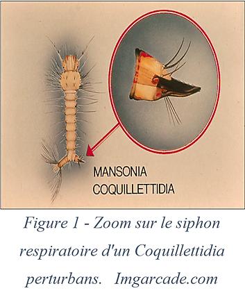 Siphon respiratoire - Coquillettidia perturbans
