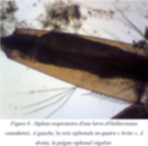 Siphon respiratoire - Ochlerotatus canadensis