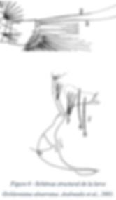 Morphologie de l'Ochlerotatus abserratus