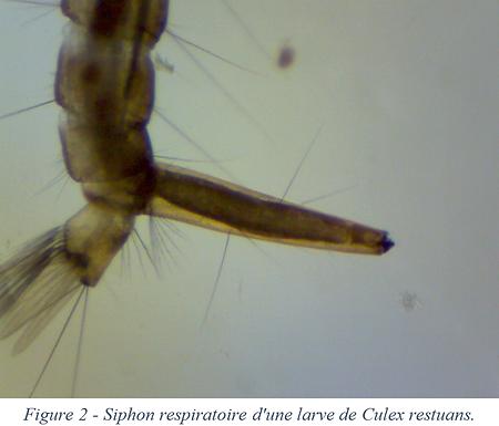 Siphon respiratoire - Culex restuans