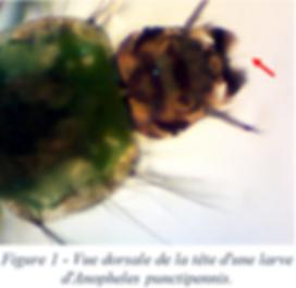 Vue dorsale de la tête d'une larve d'Anopheles punctipennis