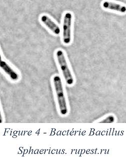Bactérie bacillus sphaericus