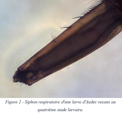 Siphon respiratoire - Aedes vexans
