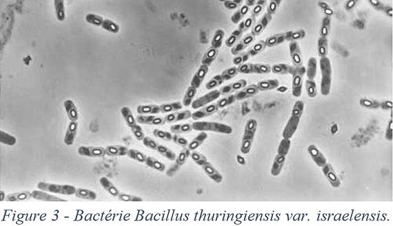Bactérie - Bacillus thuringiensis var. isrealensis utilisé dans le contrôle biologique des insectes piqueurs