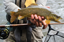 Brown Trout and Custom Bamboo Rod