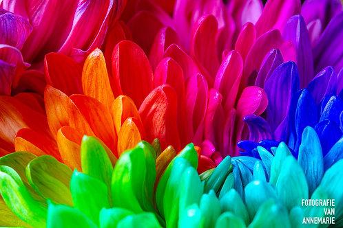 Chrysant regenboog