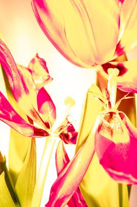 uitgebloeide tulpen