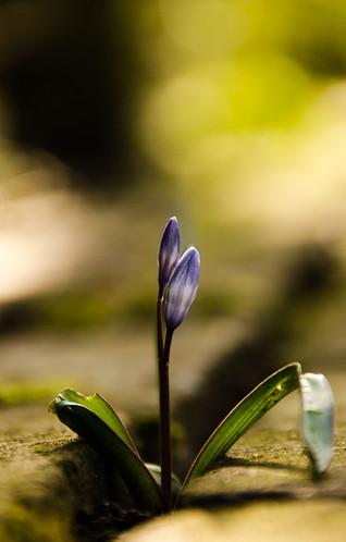 blauw bloempje tussen stenen